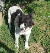 Female Border Collie in Rolla, Missouri