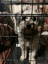 Poodle/schnauzer mix female 18 mths old in Fort Benning, Georgia