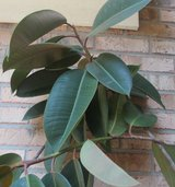 Live Rubber Plant 5 feet tall for home / office in Pleasant View, Tennessee