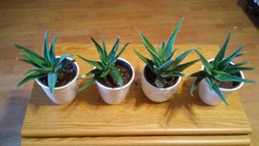 Aloe vera plant  With planter $5 each in Converse, Texas