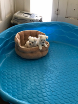 Maltese puppies needing home, gorgeous, hypoallergenic in Moody AFB, Georgia