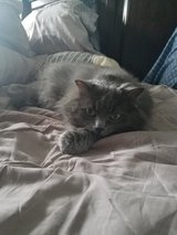 Nebelung female cat needs new home in Travis AFB, California