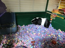 Two guinea pig need a new home in Chicago, Illinois