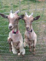 Pygmy Goats in Watertown, New York