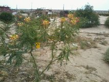High Desert Yellow Bird of Paradise in 29 Palms, California