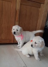 lovely Golden retriever puppies in Dover AFB, Delaware