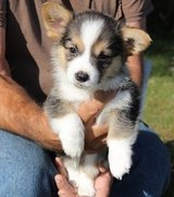 pembroke welsh corgi puppies in Dover AFB, Delaware