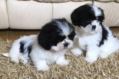 Shih Tzu puppies in Dover AFB, Delaware