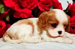 Cavalier King Charles For sale in Dover AFB, Delaware