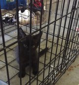 Two black kittens in Cherry Point, North Carolina