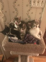 Beautiful kittens looking for forever home in Sandwich, Illinois