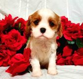 Cavalier King Charles For sale in San Ysidro, California