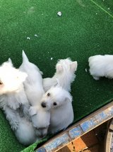 West Highland Puppies in San Ysidro, California