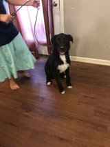 Free mixed Breed Puppy in Fort Campbell, Kentucky