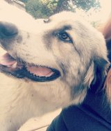 Great Pyrenees mix in Fort Leonard Wood, Missouri