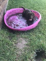 chocolate lab in Kingwood, Texas