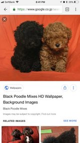 looking for toy poodle to adopt in Okinawa, Japan