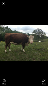 Miniature Hereford Cow in Leesville, Louisiana