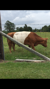 Mid size Belted Galloway Cow in Leesville, Louisiana