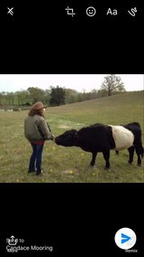 Miniature Belted Galloway Bull in Leesville, Louisiana