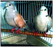 two ringneck doves proven pair with cage in Chicago, Illinois