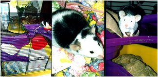loving and playfull b.w. and w.b. need good homes with complete cage sets in Chicago, Illinois
