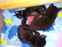 Kittens up for adoption in Barstow, California
