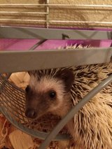 hedge hog in Fort Polk, Louisiana