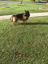free German Shepard in Okinawa, Japan