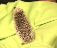 8 month old male hedgehog in Naperville, Illinois