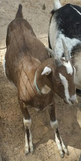 Goats for sale in Cleveland, Texas