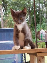 free kitten in Fort Polk, Louisiana