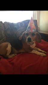 Beagle named Lilly in Fort Leonard Wood, Missouri