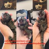Baby pygmy Marmoset monkeys for adoption call/text in Jacksonville, Florida