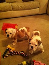 Beautiful  bulldog puppies.need of new home.House trained in Watertown, New York