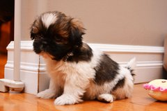 #@cute Male Shih Tzu Puppies Need Good Loving Home only@#@#@ in Watertown, New York