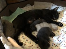 4 of little, sweet BSH  kittens looking for adoption in  Oktober 7th in Ramstein, Germany