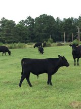 Commercial Angus Bull in DeRidder, Louisiana