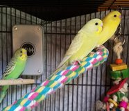 Baby Parakeets in Chicago, Illinois