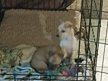 Teacup chihuahua puppies in Fort Carson, Colorado