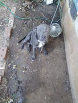 Male Blue Pit in Lawton, Oklahoma