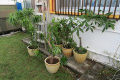 5 ceramic ots with large plants in Okinawa, Japan