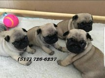 pug Puppies FOR SALE here-(517) 726-6237* in New Orleans, Louisiana