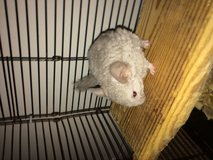 Chinchilla in Clarksville, Tennessee
