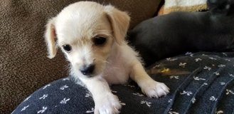 Rehome Maltipoochis in Yucca Valley, California