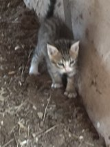 Free kittens in Conroe, Texas