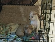 8 week old chihuahua pups in Fort Carson, Colorado