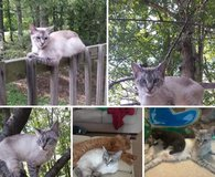 Female Siamese mix in Fort Campbell, Kentucky