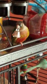 Pineapple conure in Chicago, Illinois