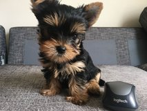Adorable Yorkshire Terrier Puppies For Sale! in San Diego, California